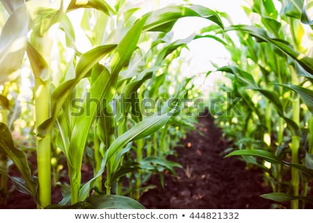 Corn plants growing in cultivated agricultural field Stock photo © stevanovicigor