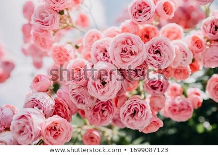 свежие бледный Розовые розы элегантный цветок макроса Сток-фото © manera