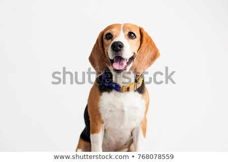 Beagle chien blanche illustration nature fond Photo stock © bluering