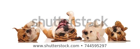 four english bulldogs laying upside down on their back  Stock photo © feedough