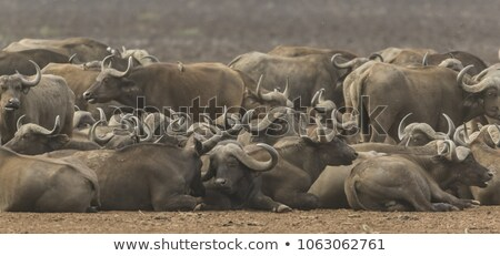 Group of buffaloes in  a lake Stock photo © Hofmeester