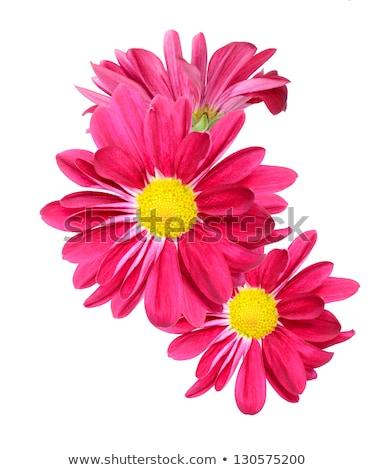 crisantemo · flor · aislado · blanco · papel · mano - foto stock © studioworkstock