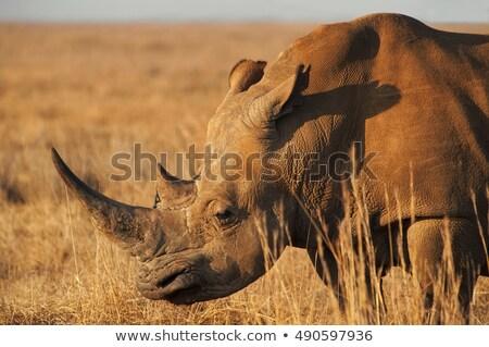 Głowie Afryki rhino biały podpisania portret Zdjęcia stock © unweit