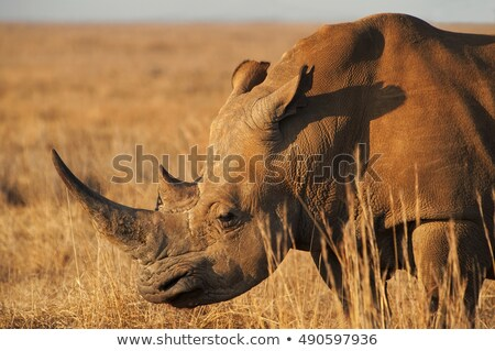 Hoofd afrikaanse neushoorn witte teken portret Stockfoto © unweit