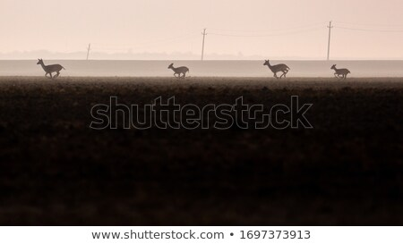 silhouette of fallow deer buck in autumn field Stock photo © taviphoto