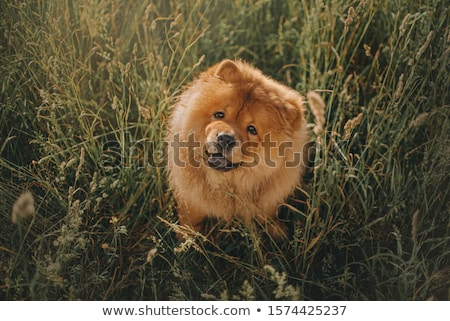 chow chow dog in summer Stock photo © cynoclub