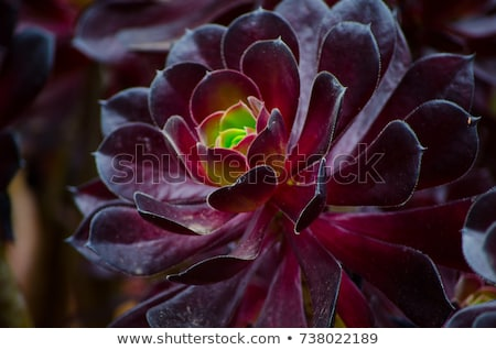 Green rosettes of succulent Aeonium arboreum Stock photo © vapi