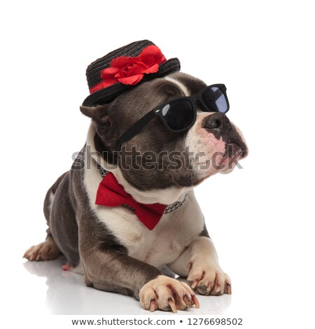 gentleman american bully wearing sunglasses looks up to side Stock photo © feedough
