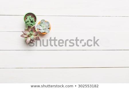 Closeup view of green cactus as a background, top view, texture ストックフォト © galitskaya