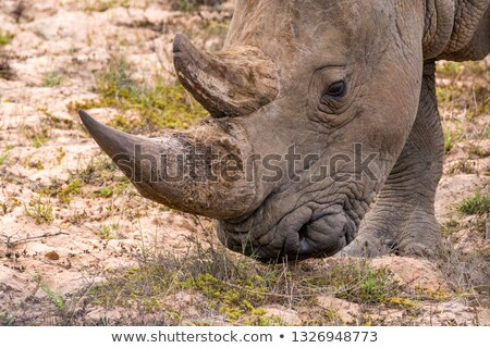 White rhino bull standing in the grass by the water. Stock photo © simoneeman