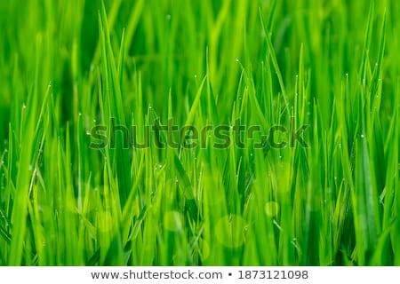 Güzel çiy damla olgun pirinç yaprak Stok fotoğraf © galitskaya