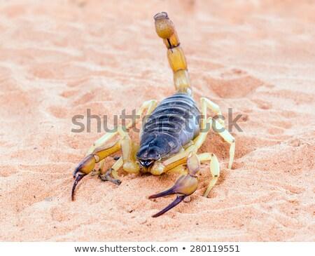 Gigante deserto peludo escorpião Arizona natureza Foto stock © galitskaya