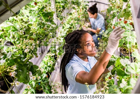 African woman looking for ripe strawberries while picking them up in greenhouse Stock photo © pressmaster