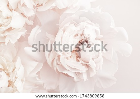Pastel peony flowers in bloom as floral art background, wedding decor and luxury branding Stock photo © Anneleven