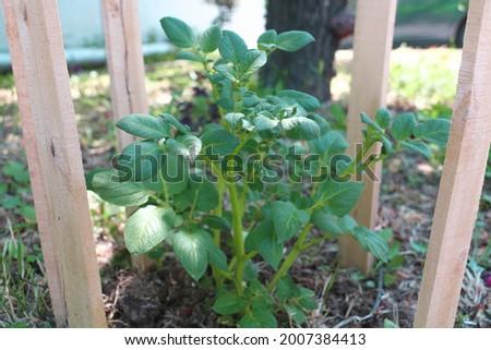 Recién sucia patatas aislado blanco Foto stock © marylooo