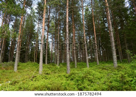 beautiful view of the pine forest in sunny summer day stock photo © pilgrimego
