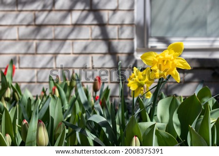 Yellow Daffodils blooming during Spring in New York Stock photo © art2002