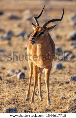 Black-faced Impala Stock photo © dirkr