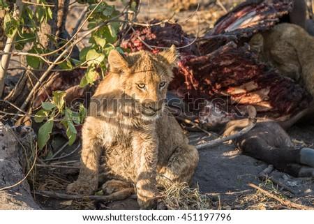 Lion cub sitting next to a Buffalo carcass. Stock photo © simoneeman