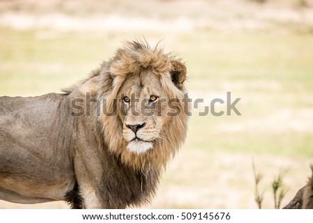 Hatalmas férfi oroszlán játék tartalék Dél-Afrika Stock fotó © simoneeman