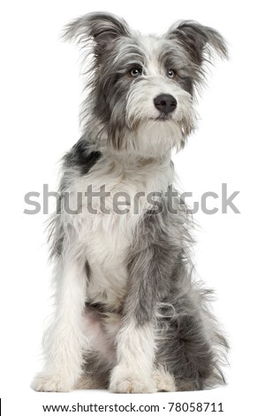 Stock photo: Mixed breed gray cute dog portrait in a white studio background