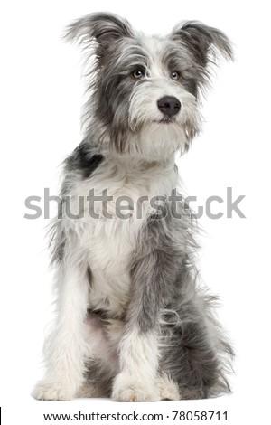 misto · cinza · bonitinho · cão · branco - foto stock © vauvau