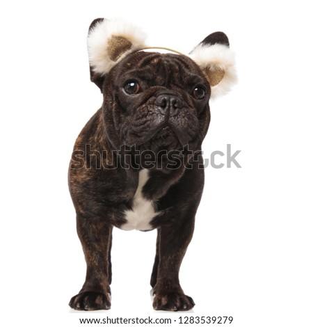 curious french bulldog wearing bear ears headband looks to side Stock photo © feedough