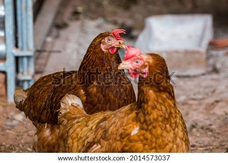 красный курица небольшой чешский фермы молодые Сток-фото © jonnysek