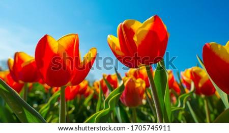 voorjaar · veld · kleurrijk · tulpen · Pasen - stockfoto © meinzahn