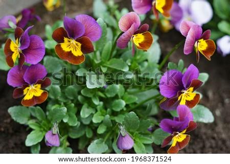 Flores belo roxo prado flor primavera Foto stock © digoarpi