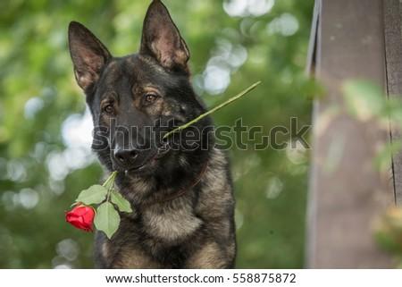 herder · hond · geïsoleerd · witte · natuur · leuk - stockfoto © hsfelix