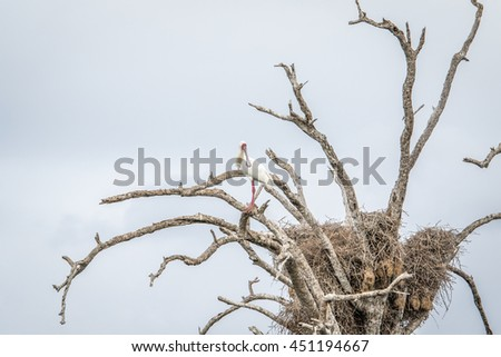 An African spoonbill sitting in a tree in the Kruger National Park. Stock photo © simoneeman