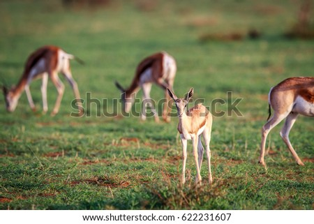 baby springbok starring at the camera stock photo © simoneeman