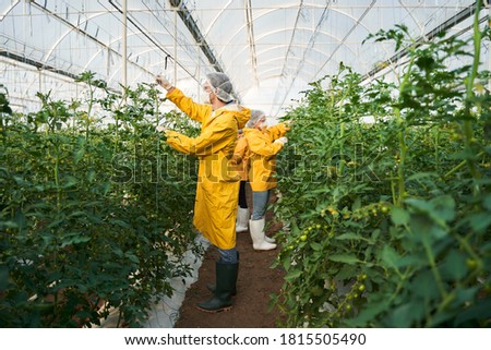Mulher homem crescer cuidar tomates Foto stock © robuart