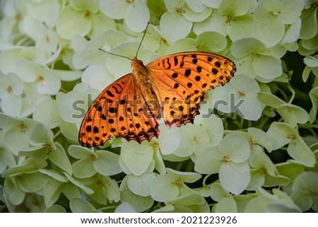 Map Butterfly on Hydrangea Flower Stock photo © manfredxy