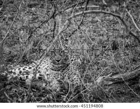 Stock fotó: Leopárd · bokrok · park · Dél-Afrika · állatok · fotózás