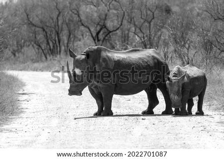 african white rhino walking over gravel road stock photo © avdveen