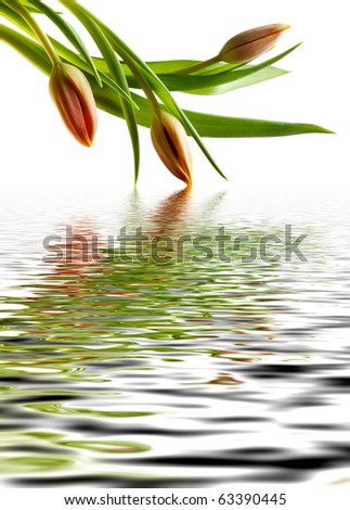 Red tulip with reflection in water Stock photo © g215