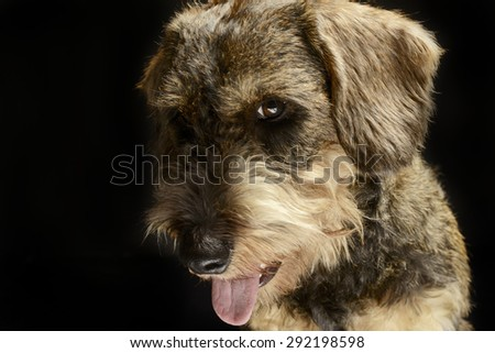 lovely wired hair dachshund open mouth portrait in a black photo Stock photo © vauvau