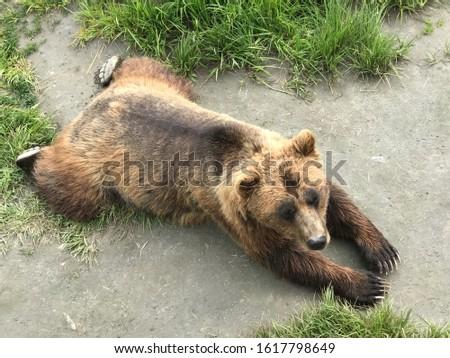 クマ · 草 · ヒグマ · 自然 · 頭 - ストックフォト © Juhku