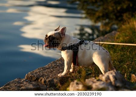 Portret frans bulldog witte geïsoleerd hond Stockfoto © OleksandrO