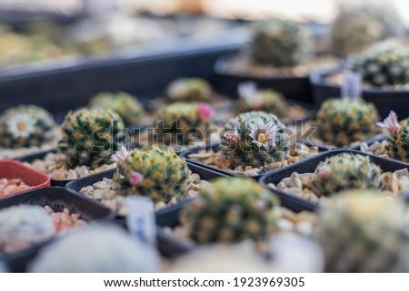 mammillarai cactus with flowers stock photo © pzaxe