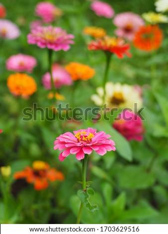 macro photo of pink zinnia flower petals bright natural background top view stock photo © artjazz