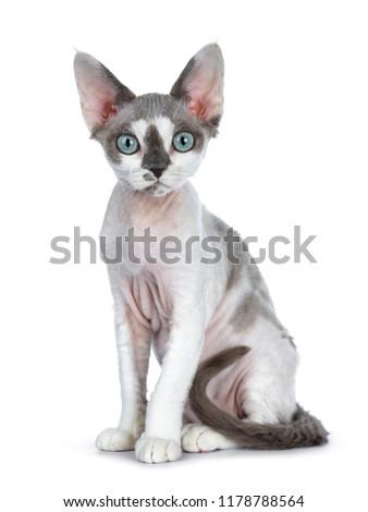 猫 · 白 · 髪 · 面白い · 再生 · ペット - ストックフォト © catchyimages