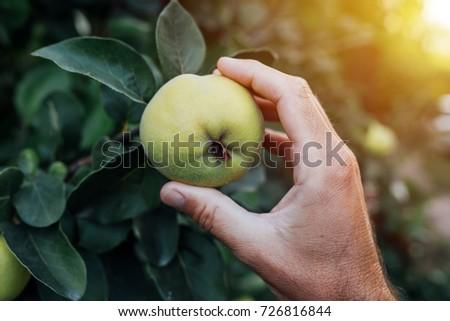 айва · фрукты · филиала · зеленый · студию · фотографии - Сток-фото © stevanovicigor