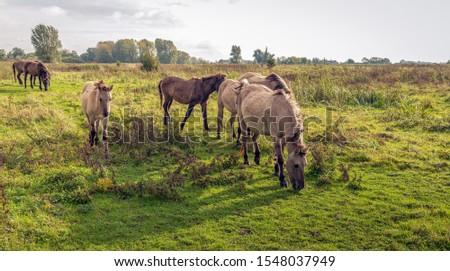 A group of Konik horses Stock photo © michaklootwijk