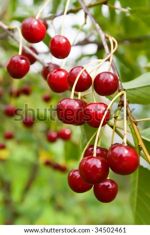 Sweet and Juicily Ripe Cherries on a Tree Stock photo © maxpro