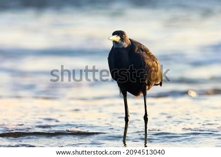 Black Stork wading waterside Stock photo © prill