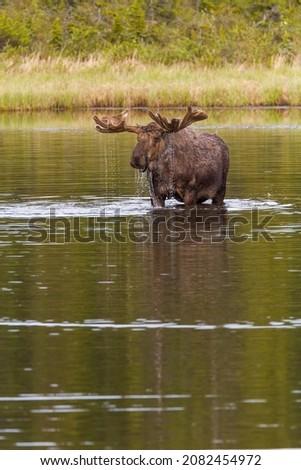 Female Moose Feeding on Pond Vegetation in the Fall Stock photo © wildnerdpix