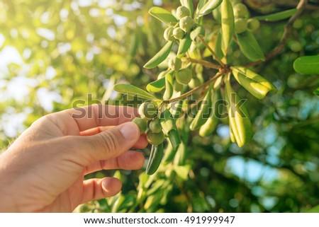 кустарник · оливкового · подобно · фрукты · жить · ограждение - Сток-фото © stevanovicigor
